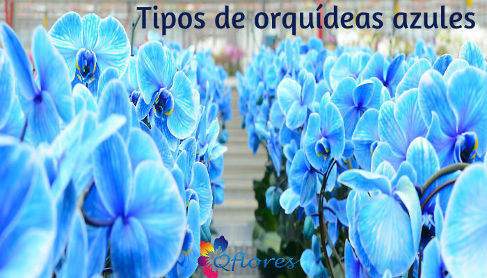 Todo Sobre Las Orquideas Azules Y Sus Tipos Qflores Qflores
