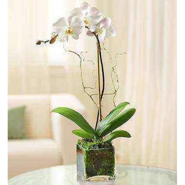 Orquídea blanca de Phalaenopsis