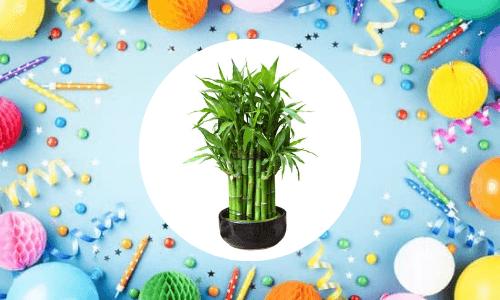 goodluck plant