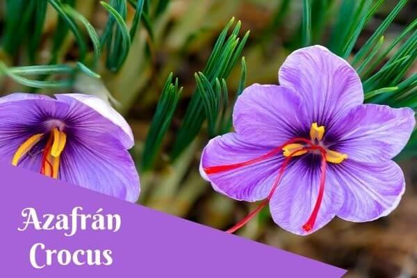 saffron crocus flower