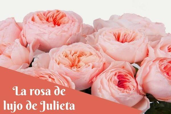 the juliet luxury rose
