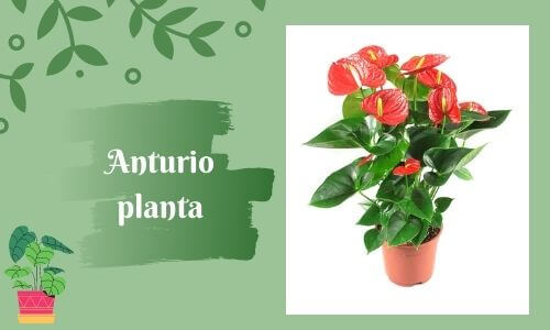 good luc plants anthurium plant