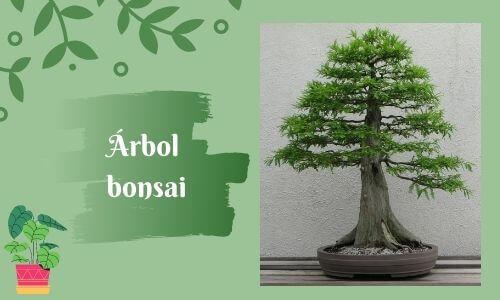 good luck plants bonsia tree