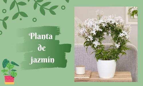 good luck pants jasmine plant