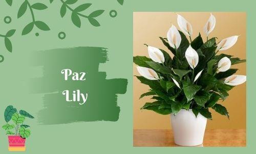 good luc plants peace lily plant