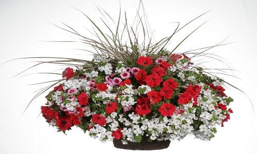 Planta de Petunia