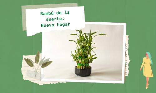 Bambú de la suerte