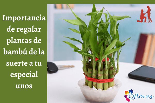 Importancia de regalar plantas de bambú de la suerte a tus especiales