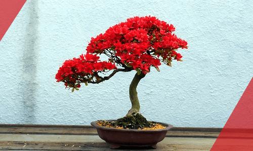 Bonsái de azalea floreciente